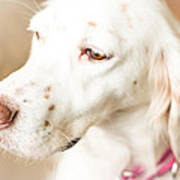 English Setter In Natural Light Poster
