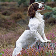 English Springer Spaniel Dog Poster