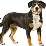 Entlebuch Mountain Dog Poster