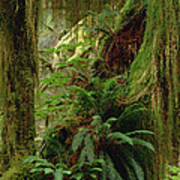 Epiphytic Sword Fern Poster