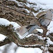 Eurasian  Collard Doves Poster