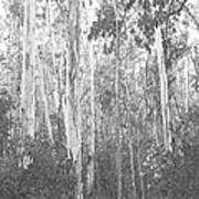 Eucalyptus Forest Poster