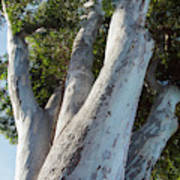 Eucalyptus Tree, California Poster