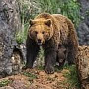 Eurasian Brown Bear 14 Poster