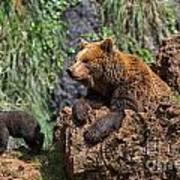 Eurasian Brown Bear 8 Poster