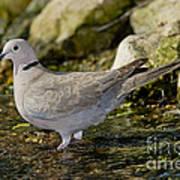 Eurasian Collared Dove Poster