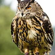 Eurasian Eagle Owl On Log Poster