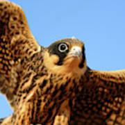 Eurasian Hobby Falco Subbuteo In Poster