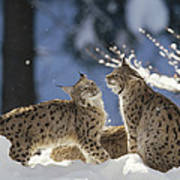 Eurasian Lynx Pair Bayerischer Wald Np Poster