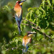 European Bee-eater Poster