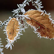 European Beech Leaves With Frost Poster