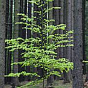 European Beech Tree In Noway Spruce Poster