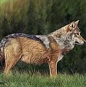 European Grey Wolf Poster
