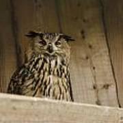 European Owl Poster