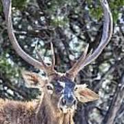 European Red Deer Poster