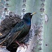 European Starling Poster