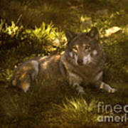 European Wolf Poster