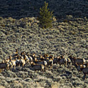 Evening Herd Of Elk   #7640 Poster