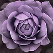 Evening Lavender Rose Flower Poster