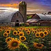 Evening Sunflowers Poster