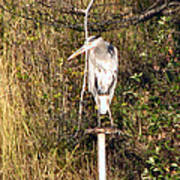 Ever Watchful Blue Heron Poster