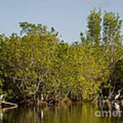 Everglades'  Egrets Poster
