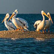 Everglades White Pelicans Poster