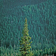 Evergreen Trees Poster