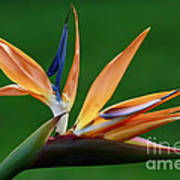 Exotic Bird Of Paradise Poster