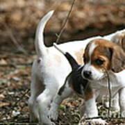 Exploring Beagle Pups Poster