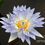 Exquisite Lavender Waterlily Poster