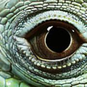 Eye Of A Common Iguana Iguana Iguana Poster