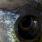 Eye Of A Stickleback Poster