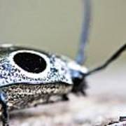 Eyed Click Beetle Poster