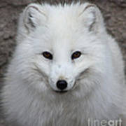 Eyes Of The Arctic Fox Poster
