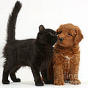 F1b Goldendoodle Pup With Kitten Poster