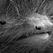 Face Of A Pipistrelle Bat Poster