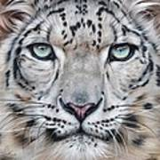 Faces Of The Wild - Snow Leopard Poster