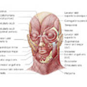 Facial Muscles Of The Human Face Poster