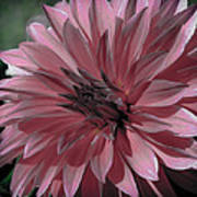 Faded Pink Dahlia Poster