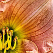 Fairy Tale Pink Daylily Closeup Poster