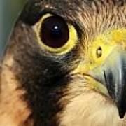 Falcon Focus Poster