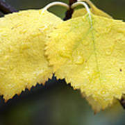Fall Aspen Leaves After A Rain Poster