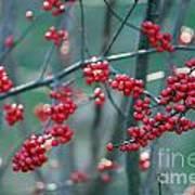 Fall Berries Poster