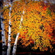 Dazzling Birch Poster