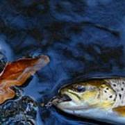 Fall Brown Trout Poster