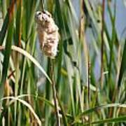 Fall Cattail Poster