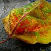 Fall Colors On A Downed Aspen Leaf Poster