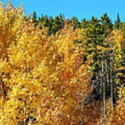 Fall Colors On The Colorado Aspen Trees Poster