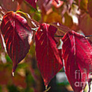 Fall Dogwood Leaves Poster
